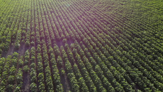 aerial view of cotton crop field - ozgurdonmaz stock videos and b-roll footage