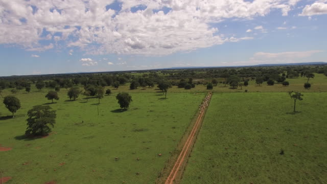 aerial view of cowboys herding cattle in goias state, brazil - cattle点の映像素材/bロール