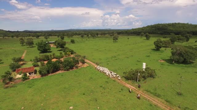 aerial view of cowboys herding cattle in goias state, brazil - herding stock videos & royalty-free footage