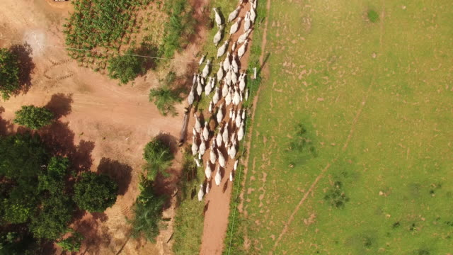 Aerial view of cowboys herding cattle in Goias State, Brazil