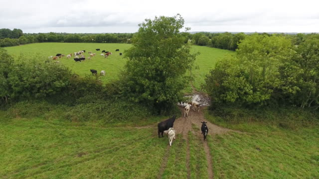 aerial view of cows going from one field to another - beef cattle stock videos & royalty-free footage