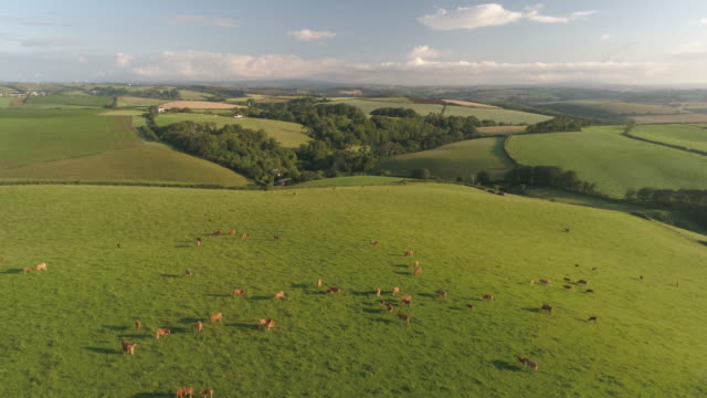 aerial view of cows grazing in field - devon stock videos & royalty-free footage