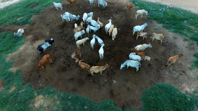 牧草地分野における放牧牛の空撮の群れ。 - 草を食む点の映像素材/bロール