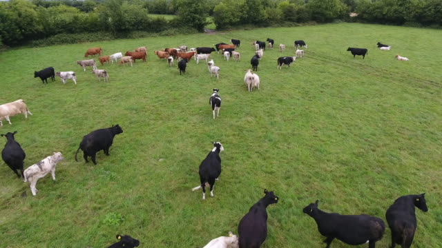 aerial view of cows in a field - domestic cattle stock videos & royalty-free footage