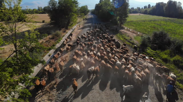 aerial view of cows in field - ozgurdonmaz stock videos and b-roll footage