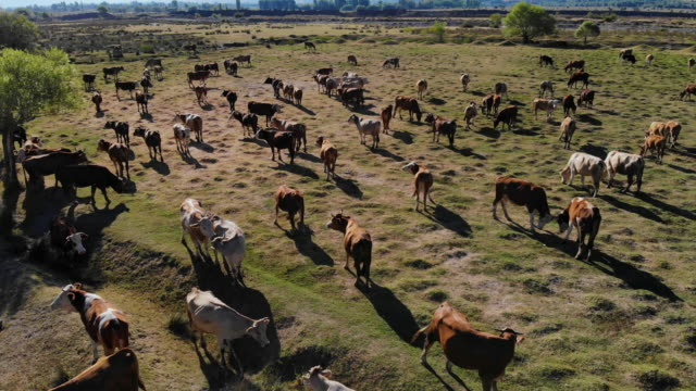 aerial view of cows in field - wide stock videos & royalty-free footage