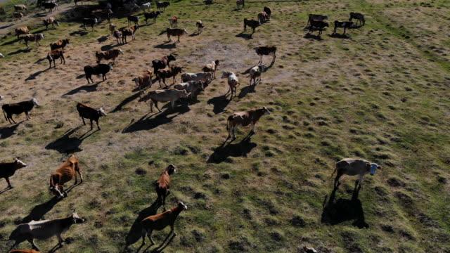 vídeos y material grabado en eventos de stock de vista aérea de las vacas en el campo - carne de vaca