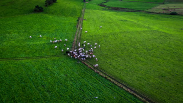 Aerial view of cows on a green pasture