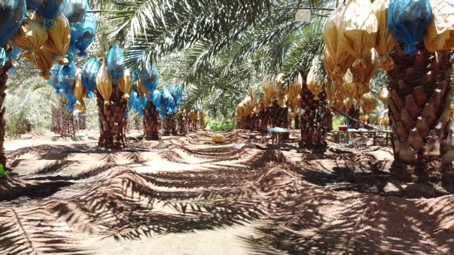 aerial view of date palm plantation - israel stock videos & royalty-free footage