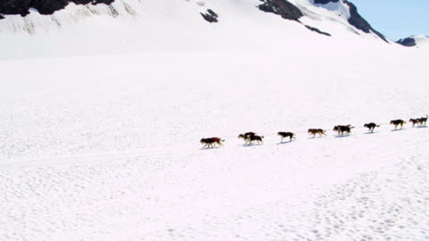 vidéos et rushes de aerial view of dogsledding alaska, usa - chien de traîneau