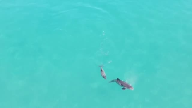 stockvideo's en b-roll-footage met aerial view of dolphins hunting in the black sea off the coast kastamonu's abana district northern turkey on august 24 2018 - human interest