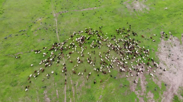 aerial view of domestic animals in the green fields - herd stock videos & royalty-free footage