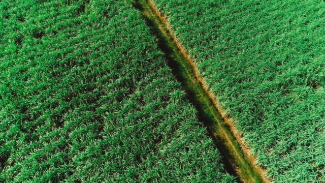 aerial view of drone fly over of sugar cane field sunset.