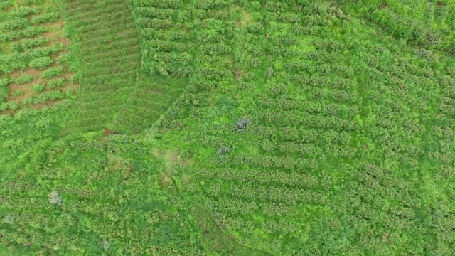 Aerial view of Edible roses plant on the mountain