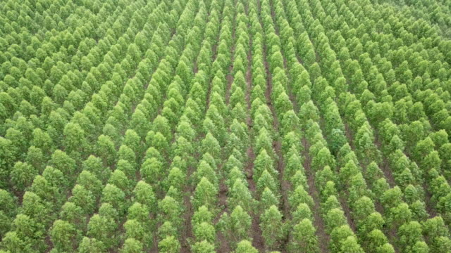 aerial view of eucalyptus plantation - paper industry stock videos & royalty-free footage
