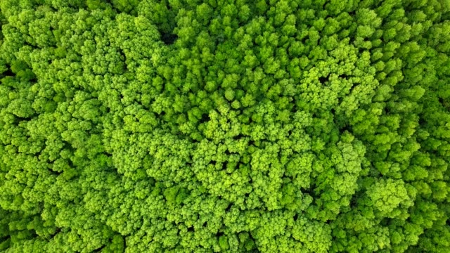 Aerial view of evegreen tree and mangrove tree in Thailand