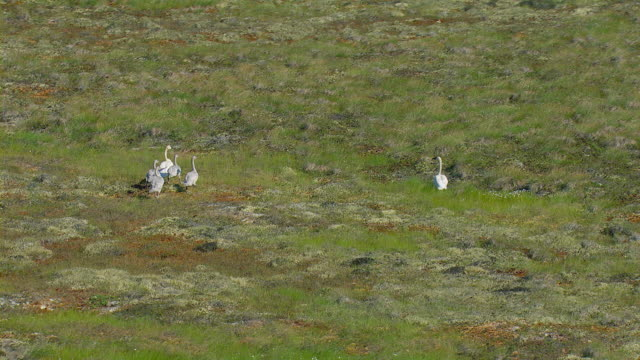 Aerial View Of Family Of Swans In Alaska