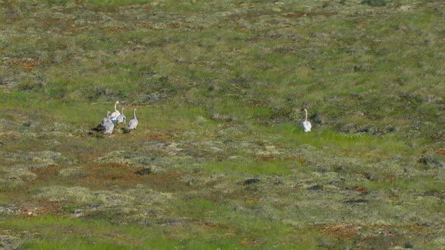 vidéos et rushes de aerial view of family of swans in alaska - hémisphère nord