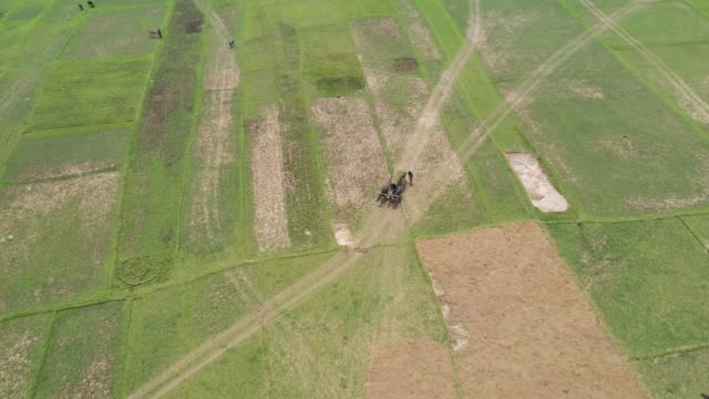 aerial view of farmers harvest rice using cart in bangladesh - 働く動物点の映像素材/bロール
