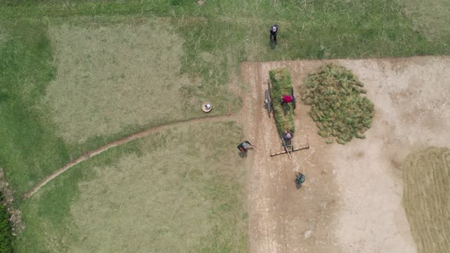 vídeos de stock, filmes e b-roll de aerial view of farmers harvest rice using cart in bangladesh - animal de trabalho