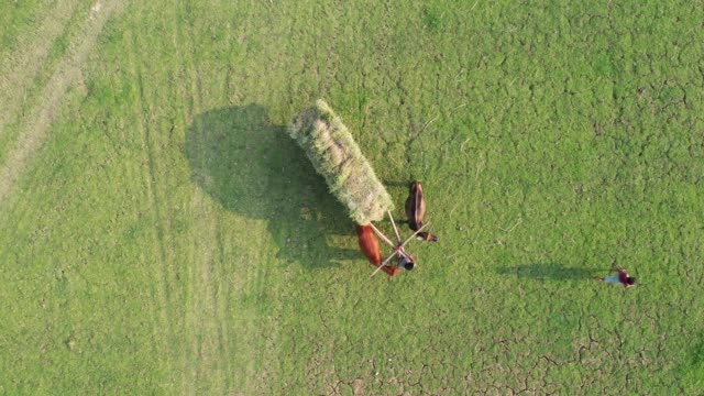 vídeos de stock e filmes b-roll de aerial view of farmers harvest rice using cart in bangladesh - animal de trabalho