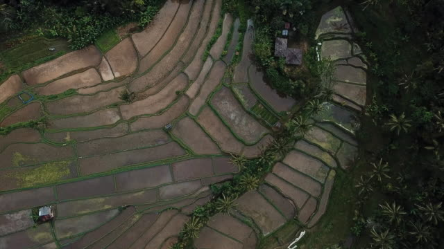 aerial view of farmers harvesting rice on traditional terraced rice paddy in palm jungle,bali indonesia - ubud district stock videos & royalty-free footage