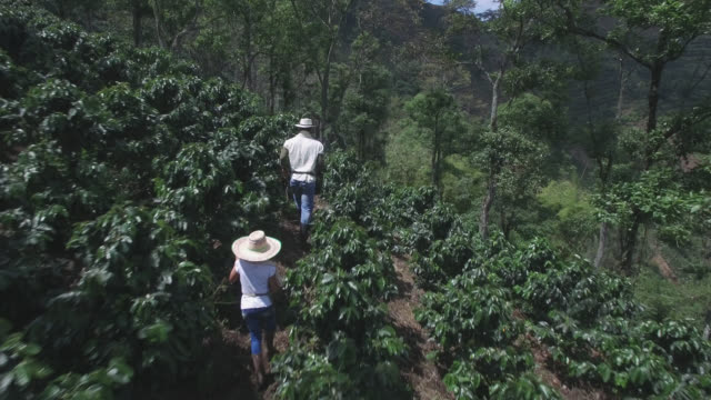 vídeos de stock e filmes b-roll de aerial view of father and daughter walking through the coffee harvest - coleção