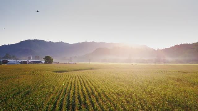 aerial view of field of wheat in oregon at sunrise - oregon stato usa video stock e b–roll
