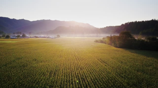 aerial view of field of wheat in oregon at sunrise - scena rurale video stock e b–roll