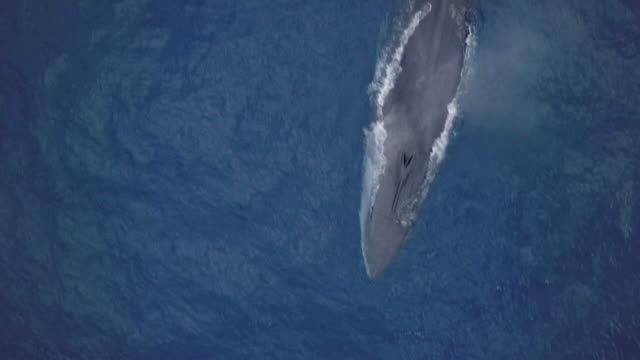 vídeos de stock e filmes b-roll de aerial view of fin whale passing, top down shot - bando de mamíferos marinhos