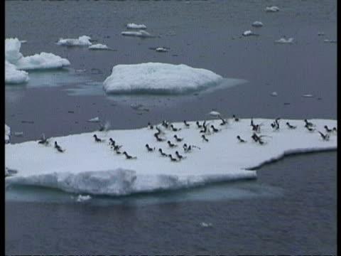 vidéos et rushes de aerial view of flock of cape petrels take off from ice floe, antarctica - pôle sud