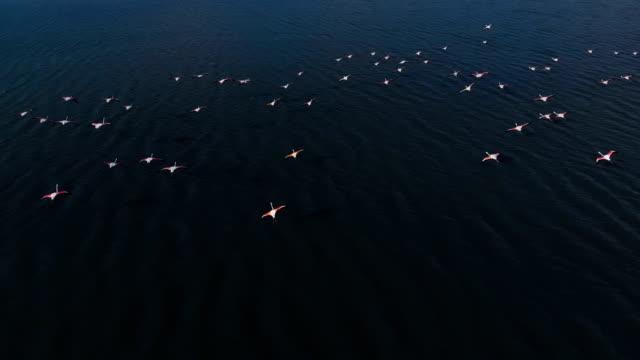 aerial view of flock of flamingos - flamingo bird stock videos & royalty-free footage