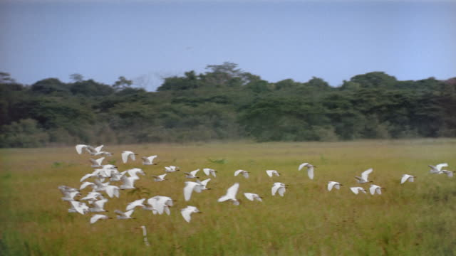 Aerial view of flock of storks flying low over grass with trees in background / Venezuela