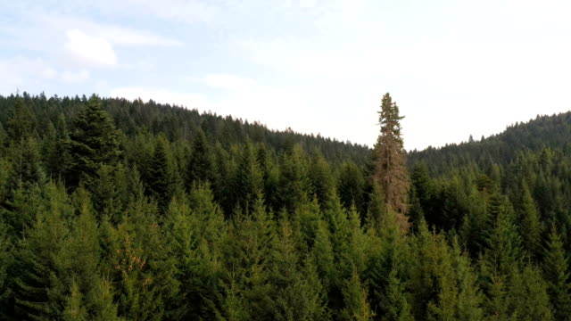 aerial view of forest - pine stock videos & royalty-free footage