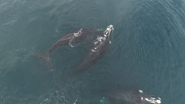 aerial view of four juvenile southern right whales socializing at the surface on a calm sunny day, nuevo gulf, valdes peninsula, argentina. - mating stock videos & royalty-free footage