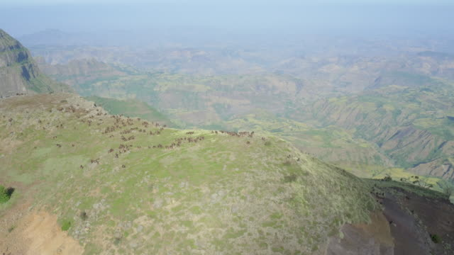Aerial view of gelada baboon herd in the Simien mountains, Ethiopian highland