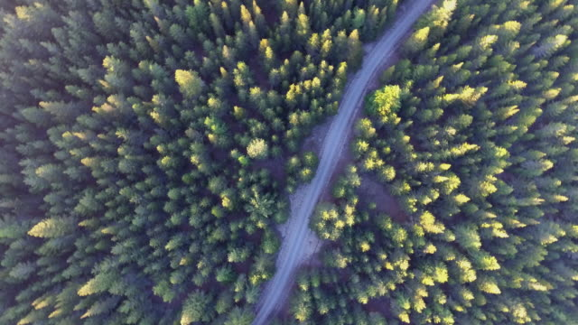 aerial view of golden pine tree - pine stock videos & royalty-free footage