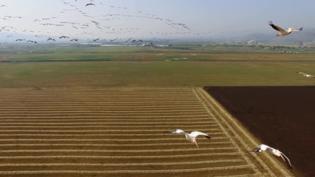 Aerial view of Great White Pelicans (Pelecanus onocrotalus)circling in a thermal, during Migration in the Hula Valley