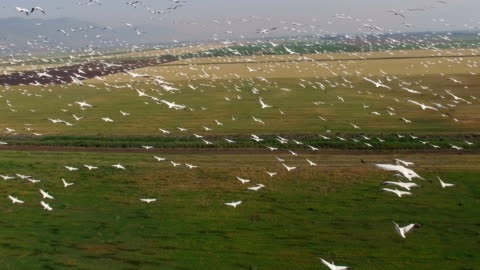 aerial view of great white pelicans (pelecanus onocrotalus)circling in a thermal, during migration in the hula valley - pelican stock videos & royalty-free footage