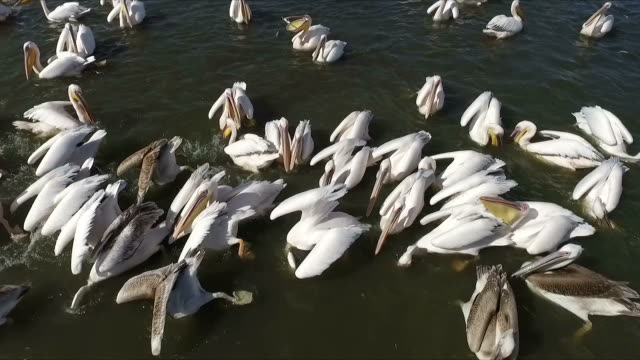 vídeos de stock e filmes b-roll de aerial view of great white pelicans feeding on fish - pelicano