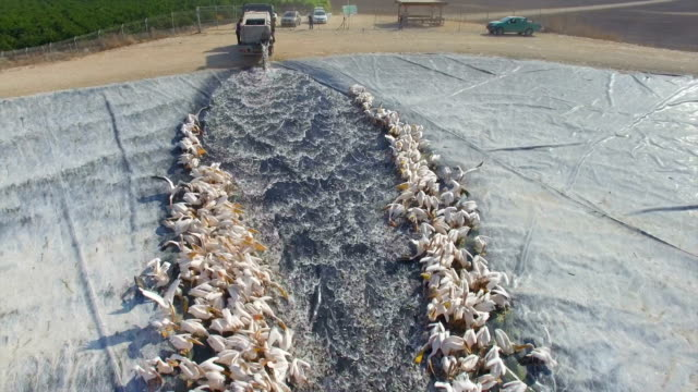 aerial view of great white pelicans feeding on fish - pelican stock videos & royalty-free footage