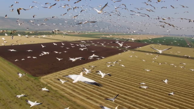 vídeos de stock e filmes b-roll de aerial view of great white pelicans  migrating north in the hula valley - pelicano