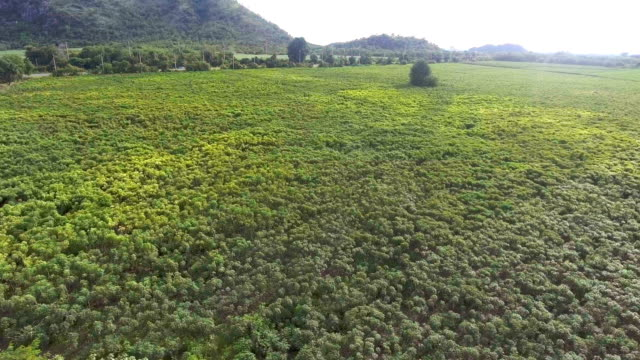 Aerial view of green cassava farm in countryside