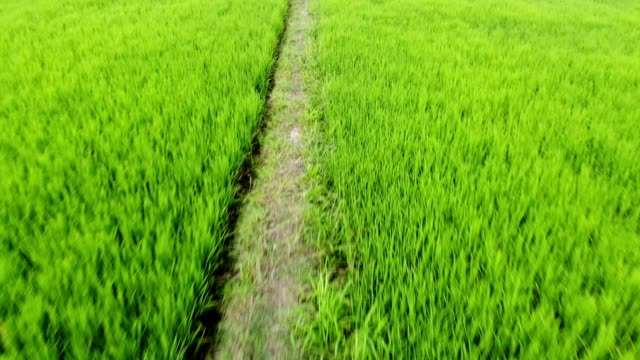 aerial view of green rice field paddy - ridge stock videos & royalty-free footage