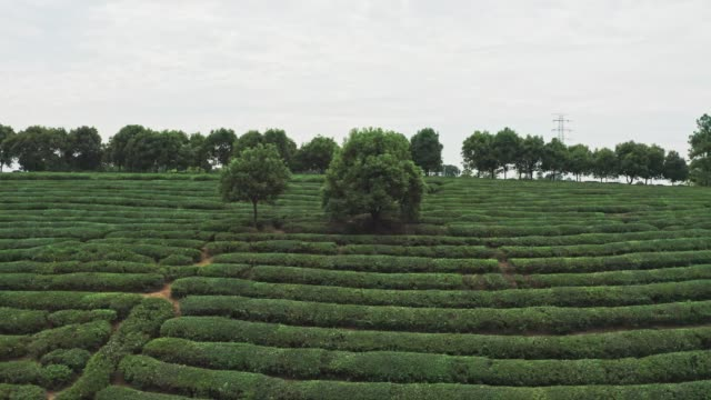 aerial view of green tea garden - hill stock videos & royalty-free footage