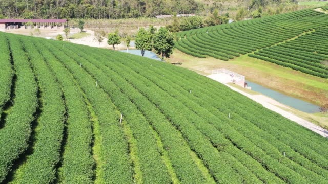 グリーンティープランテーションテラスの空中風景。農業と収穫の概念 - 農園点の映像素材/bロール