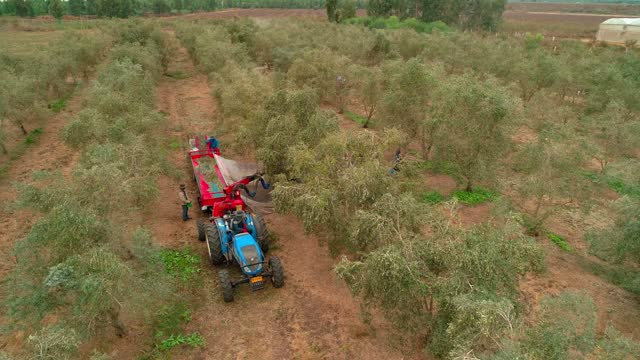 aerial view of harvest olives - middle east stock videos & royalty-free footage
