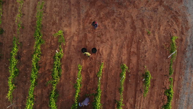 4k aerial view of harvesting at sunrise in salento / apulia / italy - abstract stock videos & royalty-free footage
