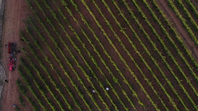 vídeos de stock e filmes b-roll de 4k aerial view of harvesting at sunrise in salento / apulia / italy - trepar