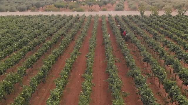 4k aerial view of harvesting in salento / apulia / italy - vineyard stock videos & royalty-free footage